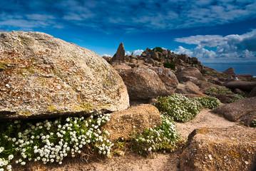 Alyssum and rocks at Monterey California