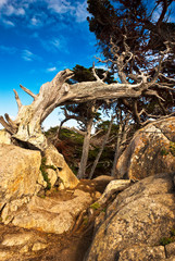 Aged cypress on a rocky path