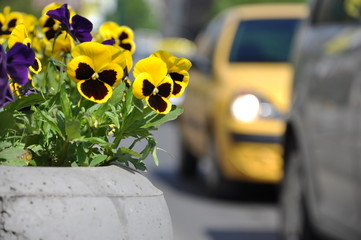 Yellow car and yellow violet