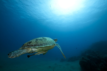 Female green turtle swimming