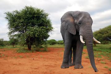 elefante nel parco Chobe