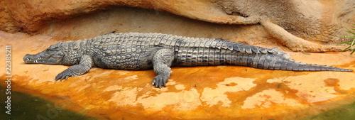 Staande foto Krokodil Crocodile