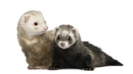 Two ferrets, 1 year old and 18 months old