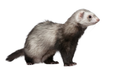 Ferret, 4 years old, in front of white background