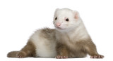 Ferret, 1 and a half years old, in front of white background poster