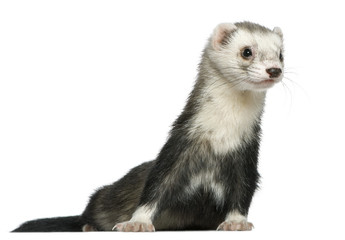 Ferret, 3 and a half years old, in front of white background