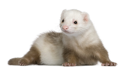 Ferret, 1 and a half years old, in front of white background