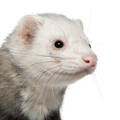 Close-up of ferret, 5 years old, in front of white background