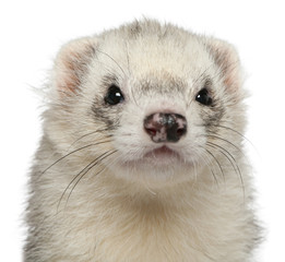 Close-up of ferret, 3 years old, in front of white background