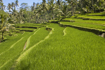 Kind on rice terraces, Bali, Indonesia..