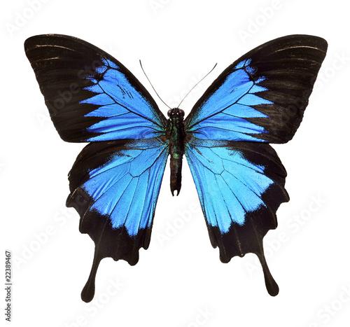 insekt falter blauer schmetterling stockfotos und. Black Bedroom Furniture Sets. Home Design Ideas