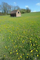 English field covered in dandelions with an shed in background