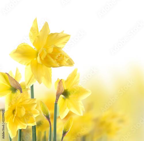 Aluminium Narcis daffodils