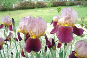 iris a maggio