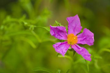 rosa Blüte beim entfalten