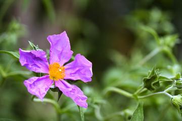 rosa Blüte 2