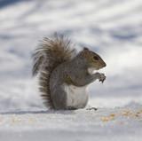 scheming squirrel poster