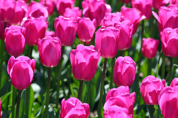 Vibrant PInk Tulips in Blooming in Spring