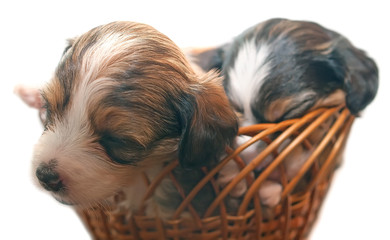 Sleeping puppies in basket