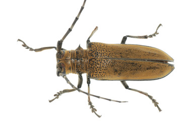 insect mulberry borer beetle