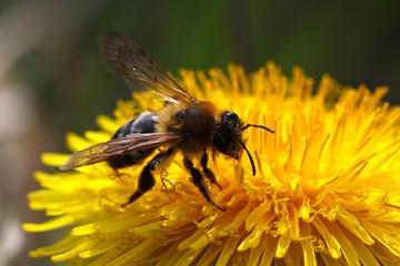 Biene auf Löwenzahn