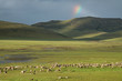 Flock of sheep grazing on green pasture, southern Africa