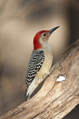 Red-bellied Woodpecker (metanerpes carolinus)