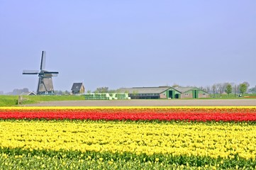 Typical dutch: Windmill, tulipfields  in the Netherlands
