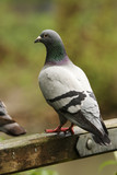 Feral pigeon on gate poster
