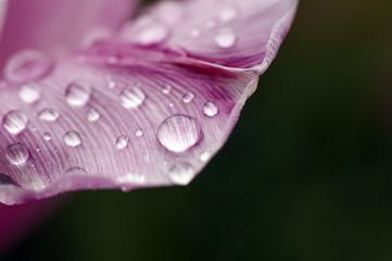 rosa Blütenblatt mit Regentropfen an schwarzem Grund