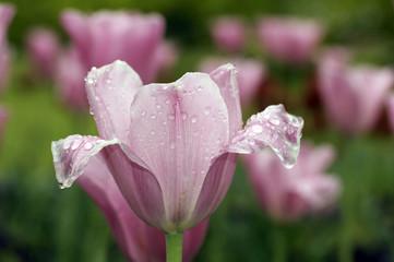 rosa Tulpe mit Regentropfen