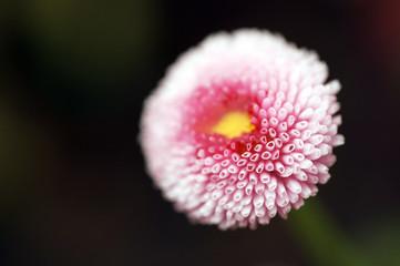 rosa Blüte auf schwarzem Gund 2