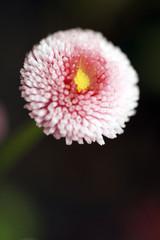rosa Blüte auf schwarzem Grund