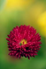 rote Blüte 1