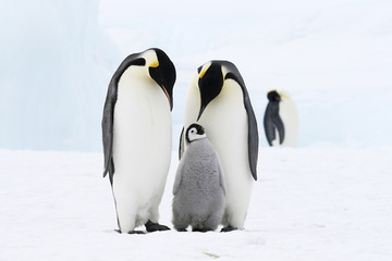 Emperor penguins on the sea ice in the Weddell Sea, Antarctica