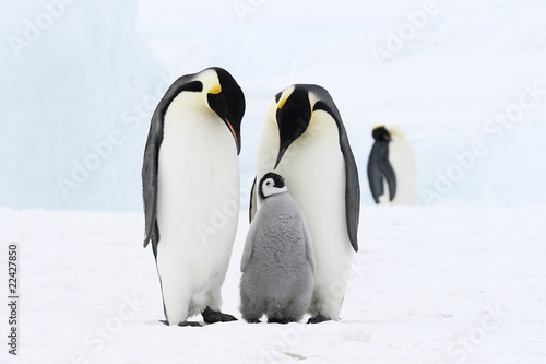 In de dag Antarctica Emperor penguins on the sea ice in the Weddell Sea, Antarctica