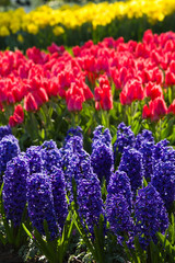 Hyacinths, tulips and daffodils in spring