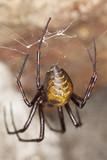Abdomen of european cave spider (Meta menardi) poster