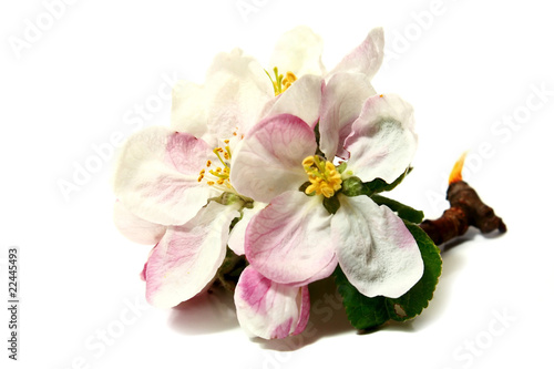 flowers of apple-tree on a branch