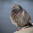Feral rock pigeon. (Columba livia domestica.)