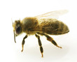 Bee closeup.Isolated on white