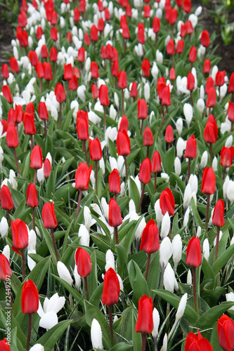 Red tulips, white crocuses and raindrops vertical