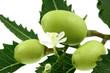neem, lilas des Indes : fruits, feuille, fleur; fond blanc