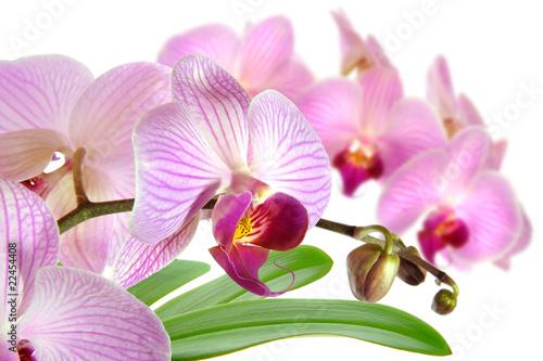 Zdjęcia na płótnie, fototapety na wymiar, obrazy na ścianę : Orchideen 15.1