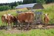 Glückliche Rinder