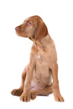 hungarian wire haired vizsla isolated on a white background poster