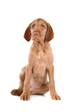 front view of a hungarian wire haired vizsla puppy poster