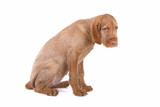 side view of a hungarian wire haired vizsla puppy poster