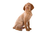 Wirehaired Vizsla (Hungarian Wirehaired Vizsla) puppy poster