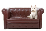 West Highland White Terrier doggy on a coach poster
